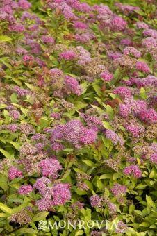 Kalmia latifolia /'olympic fire/' mountain laurel-starter plant