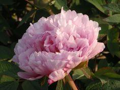 La pivoine est une fleur phare de la fête des Mères. Ses couleurs incroyables, son doux parfum et ses fleurs pleines et généreuses au look rétro sont très appréciées et sa floraison intervient de mars à mai. Dans le langage des fleurs, la pivoine symbolise la beauté féminine, la protection et la sincérité des sentiments : un doux message qui fera à coup sûr fondre le cœur de chaque maman… (c) DR