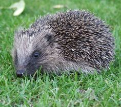 The west European hedgehog (scientific name Erinaceus europaeus) is one of about 17 hedgehog species worldwide and unmistakable as Britain's only spiny mammal. Their highly specialized coat contains around 6,000 creamy-brown spines and hangs around their body in a loose-ish 'skirt', concealing grayish fur on their underside, surprisingly long legs and a short tail.