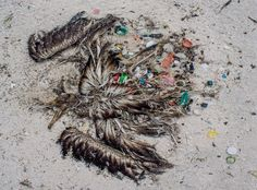 When this albatross died, it had 558 individual pieces of plastic stuffed into its stomach. [Photo Credit: Eric Dale/FWS Volunteer]