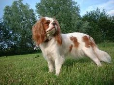 """""""Maxy"""" is our Cavalier King Charles Spaniel."""