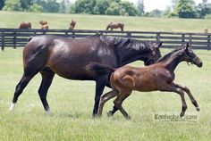 Zenyatta with her colt by Bernardini, in a paddock at the Lane's End Farm on KY 62 in Versailles, Ky.