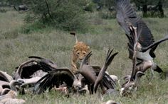 Safari Snapshot - Lioness in the Serengeti Plains | Outdoor Channel