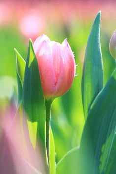 Tulip,morning dew...