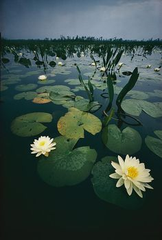 ✮ Water Lillies In The Okefenokee Swamp - Georgia