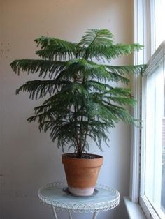 Norfolk Island pine (Araucaria heterophylla) will adapt to bright indirect light, but does best with a couple of hours of direct sunlight daily. Needs high relative humidity (pebble tray, humidifier, misting). Water when top inch or so of soil feels dry. Use enough water to allow a little excess to escape through the bottom drainage holes; discard drained water after about 15 minutes. During active growth March - Sept, feed standard liquid houseplant fertilizer every 2 wks