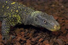 Crocodile monitor lizard | Flickr - Photo Sharing! The Papua monitor (also known as Crocodile monitor) is a lizard from New Guinea. There is some speculation that it could grow up to nearly 5 meters long, which would make it the longest of all lizards, but this one, like all other known specimens, is less than half that.