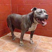 Downey, California - Pit Bull Terrier. Meet SABBATH, a for adoption. https://www.adoptapet.com/pet/21298682-downey-california-pit-bull-terrier-mix
