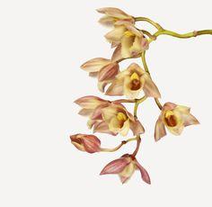 Flowers | The Flower BookOrderAsparagales FamilyOrchidaceae Commonorchid hybrid BotanicalClowesia Rebecca Northen × Catasetum Alice Maud