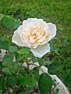 Hibiscus House: Glamis Castle English Rose