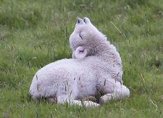 little sleepy sheep Cute Baby Animals, Farm Animals, Animals And Pets, Funny Animals, Alpacas, Wooly Bully, Photo Animaliere, Amor Animal, Baby Lamb