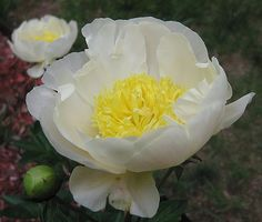 """Herbaceous Peony """"Cheddar Charm"""""""