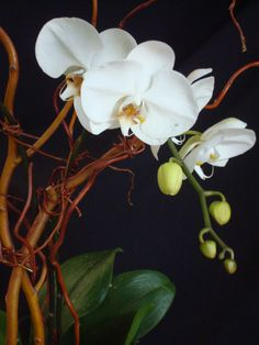 A white phalaneopsis orchid with curly willow branches.  To view our entire selection please visit us at www.starflor.com #flowers #events #eventdecor