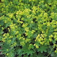 ALCHEMILLA sericata 'Gold Strike' - Løvefod, farve: gulgrøn, lysforhold: sol/halvskygge, højde: 30 cm, blomstring: juni - september, god til bunddække, velegnet til snit.