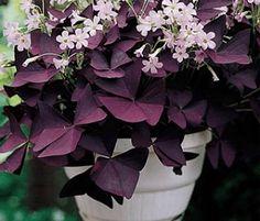 Oxalis triangularis. Conocida como la planta mariposa