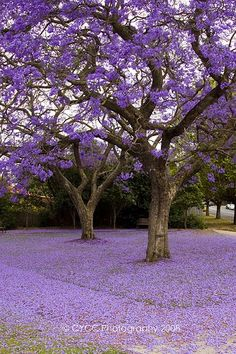 Unique Trees, Colorful Trees, Beautiful Flowers Garden, Flowering Trees, Nature Scenes, Nature Pictures, Amazing Nature, Trees To Plant, Beautiful Landscapes