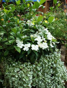 Dichondra, New Guinea Impatiens, Gardenia