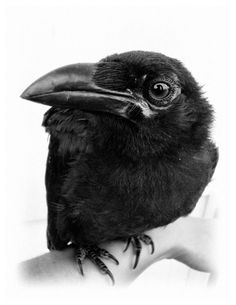 OMG!! A Raven's Eye View!!! :) To live and love a raven from a bald little nestling to adulthood and then have him bring his family to visit on the telephone line like clothespins, is the greatest gift you can get from an animal.  It happened to me.