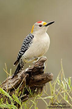 Melanerpes aurifrons - dzięciur złotoczelny - Golden-fronted Woodpecker
