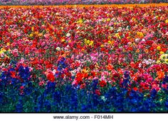 Commercial Flower Fields, Lompoc, California Stock Photo, Royalty ...