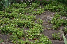 strawberris between the paving -  Fragaria vesca 'Rügen'