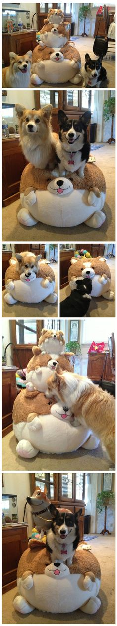 corgis with stuffed toys ...........click here to find out more http://googydog.com
