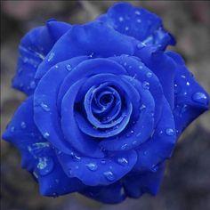 Love Rose, My Flower, Pretty Flowers, Send Flowers, Cactus Flower, Purple Flowers, Wedding Flowers, Blue Roses Wallpaper, Flower Wallpaper