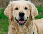 Blonde Golden Retriever - Bing Images