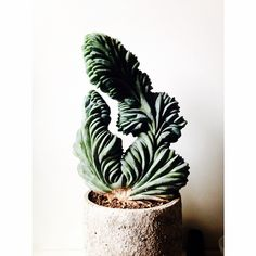 Amazing Myrtillocactus