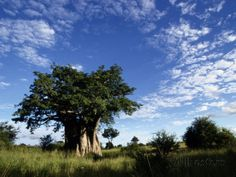 A Baobab Tree on the Savanna of Kruger National Park Photographic Print by Tim Laman at AllPosters.com
