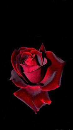 Most Popular Red Blue Rose Tattoo 15 Ideas Beautiful Flowers Wallpapers, Beautiful Rose Flowers, Flowers Nature, Exotic Flowers, Amazing Flowers, Pretty Flowers, Red Flowers, Flowers Black Background, Blue Rose Tattoos
