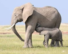 Why Burning Ivory Is Right African Elephant, Animal Rights, Green Grass, Kenya, Elephants, Calves, Ivory, Animals, Wallpapers