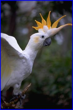 The citron-crested cockatoo is a medium-sized cockatoo with an orange crest, dark grey beak, pale orange ear patches, and strong feet and claws. The underside of the larger wing and tail feathers have a pale yellow colour. https://en.wikipedia.org/wiki/Citron-crested_cockatoo