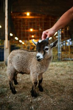 Baby Pigme Goat I'm getting one. Aww..I waunt one.