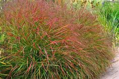 Panicum virgatum 'Hanse Herms' 3-4 ft tall is a deciduous, perennial grass of choice. It forms an erect, compact and narrow clump of gracefully arching, steely blue foliage with red-tinged tips that become more conspicuously as the season progresses.