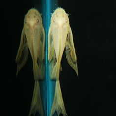 """The Albino Bushynose Pleco is an aquacultured variant with a yellow-white body color and red eyes. The """"butterfly"""" variety of this pleco has longer fins than the common variation. As with other Ancistrus plecos, mature males with have a number of bushy """"tentacles"""" around the mouth. Some females may have these as well however while other females and juveniles of both sexes will not."""