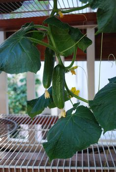 'Bush Slicer,' an excellent cucumber variety for growing in containers.