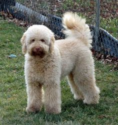 Labradoodle -- MM sez: I want one!!!!