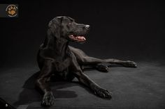 Black Dogs Project : This photo series started after a conversation about how black dogs have a harder time getting adopted than other dogs. I decided to start a photo series photographing black dogs on a black background in my studio. Using social media, I've been recruiting local dog owners who have black dogs to photograph. It's an amazing journey that will hopefully become a book.  Contact: info@fredlevyart.co