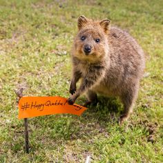 Flying the flag Quokka's know what's up. It's #HappyQuokkaMonday!   Kickstarter update: We've nailed the rewards and the whole cause of the campaign to maximise how it can make your friends even more happier about life in a secret way. Crazy cool, all will be reveled soon and I CAN'T WAIT!