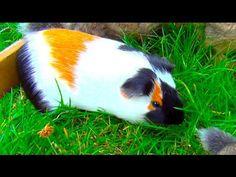 Beautiful Guinea Pig and Bunnies Baby Guinea Pigs, Guinea Pig Care, Zoo Animals, Funny Animals, Cute Animals, Capybara, Cute Piggies, Animal Kingdom, Habitats