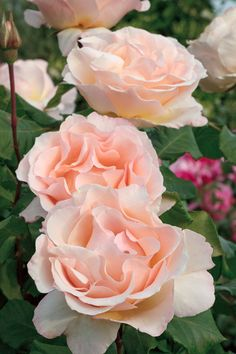 """Johann Strauss"" Rose 
