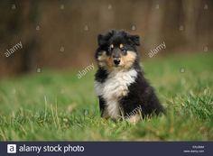 longhaired-collie-puppy-ERJ2MM.jpg (1300×955)