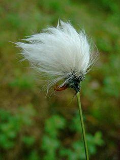 Gotton grass - Eriophorum vaginatum - Sarakasvit - Vampula-fi - Jari Taivainen