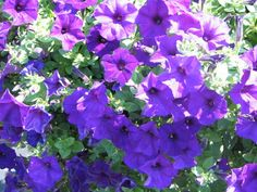We will have to plant petunias every spring like I did with Mommy and the Uncles.