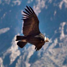 Bald Eagle, Gallery, Grande, Andean Condor, Birds, Animals, Scenery, Fotografia, Roof Rack