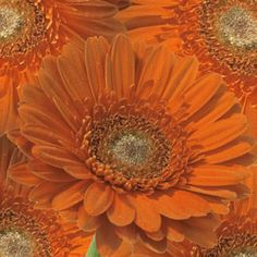 Save money on your wedding by buying wholesale Gerbera Daisies. Our flowers arrive from the flower farm to your door so they are fresh & you save money Affordable Wedding Flowers, Love Actually, Flower Farm, Fresh Flowers, Fall Wedding, Flower Arrangements, Wedding Venues, Floral Design, Daisy