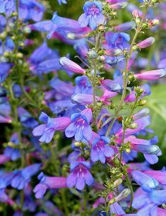 FREE DELIVERY over £20 3 x Penstemon Sour Grapes plug plants