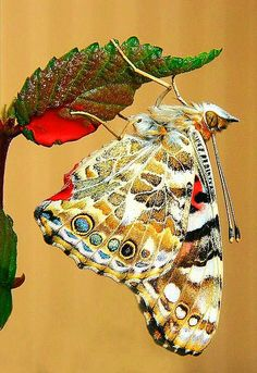✯ Beautiful Butterfly