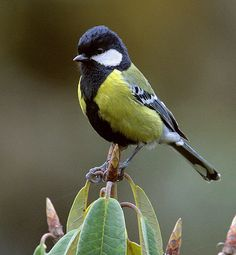 Green-backed Tit, Parus monticolus: Bangladesh, Bhutan, China, India, Laos, Burma, Nepal, Pakistan, Taiwan, Vietnam